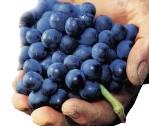 grozde2.jpg